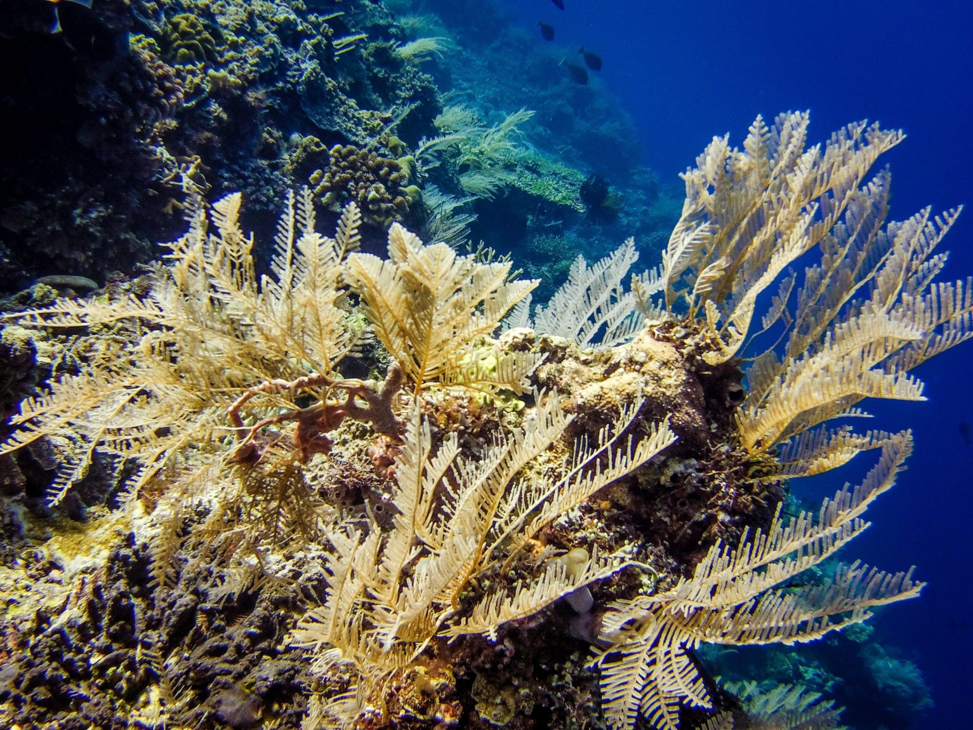 Diving East Timor - the most beautiful soft corals in the world