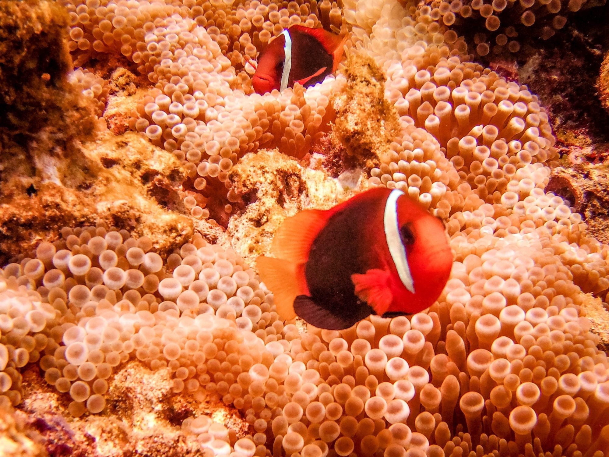 Diving East Timor - hundreds of Nemos within one area