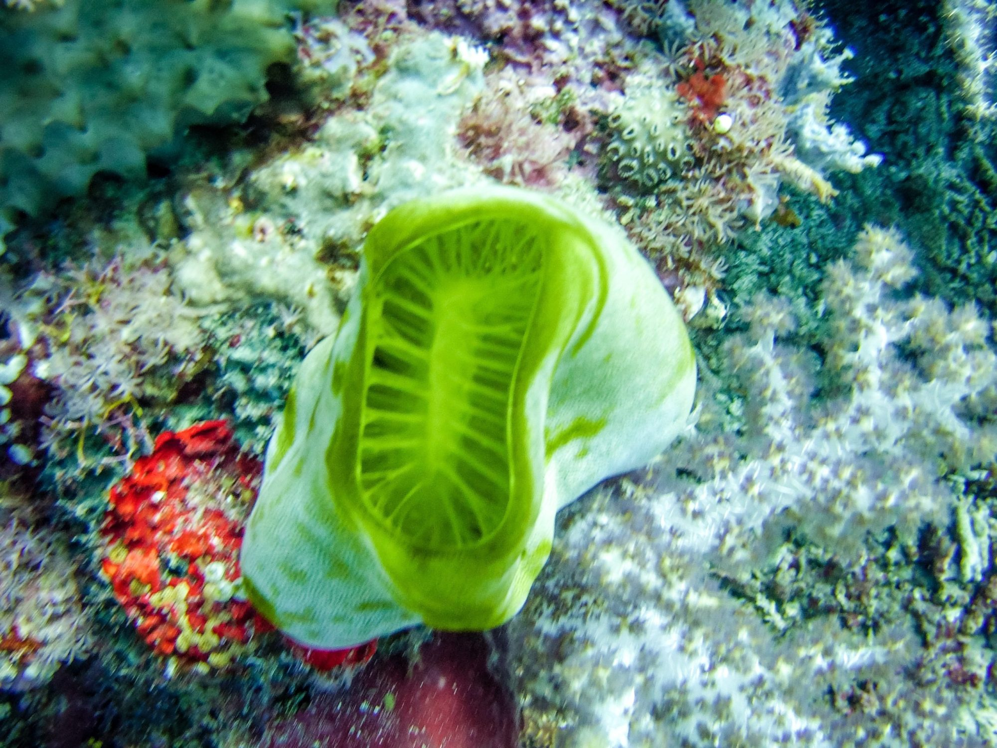Diving East Timor - soft corals