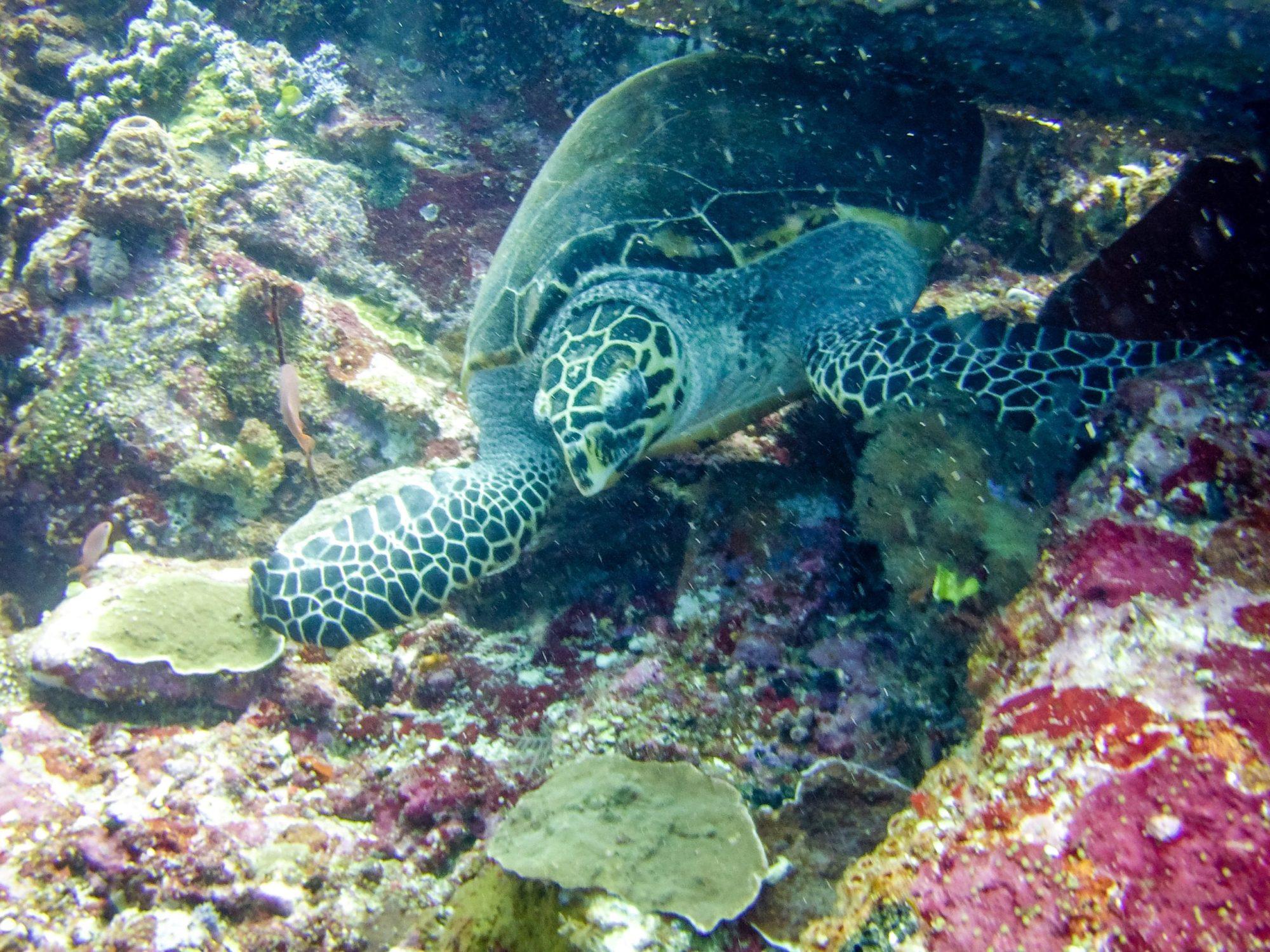 Komodo diving: turtle