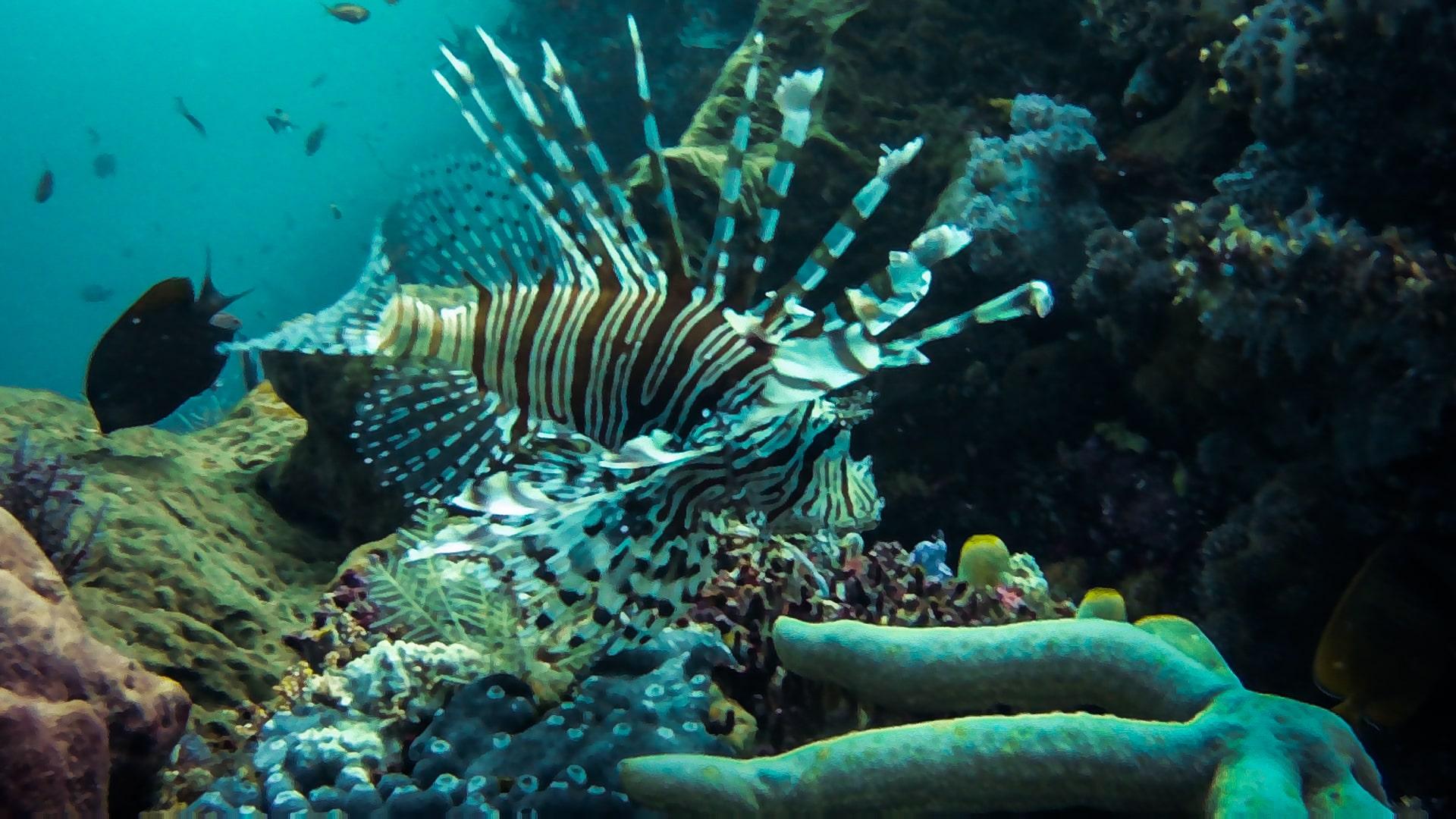 komodo diving: lionfish