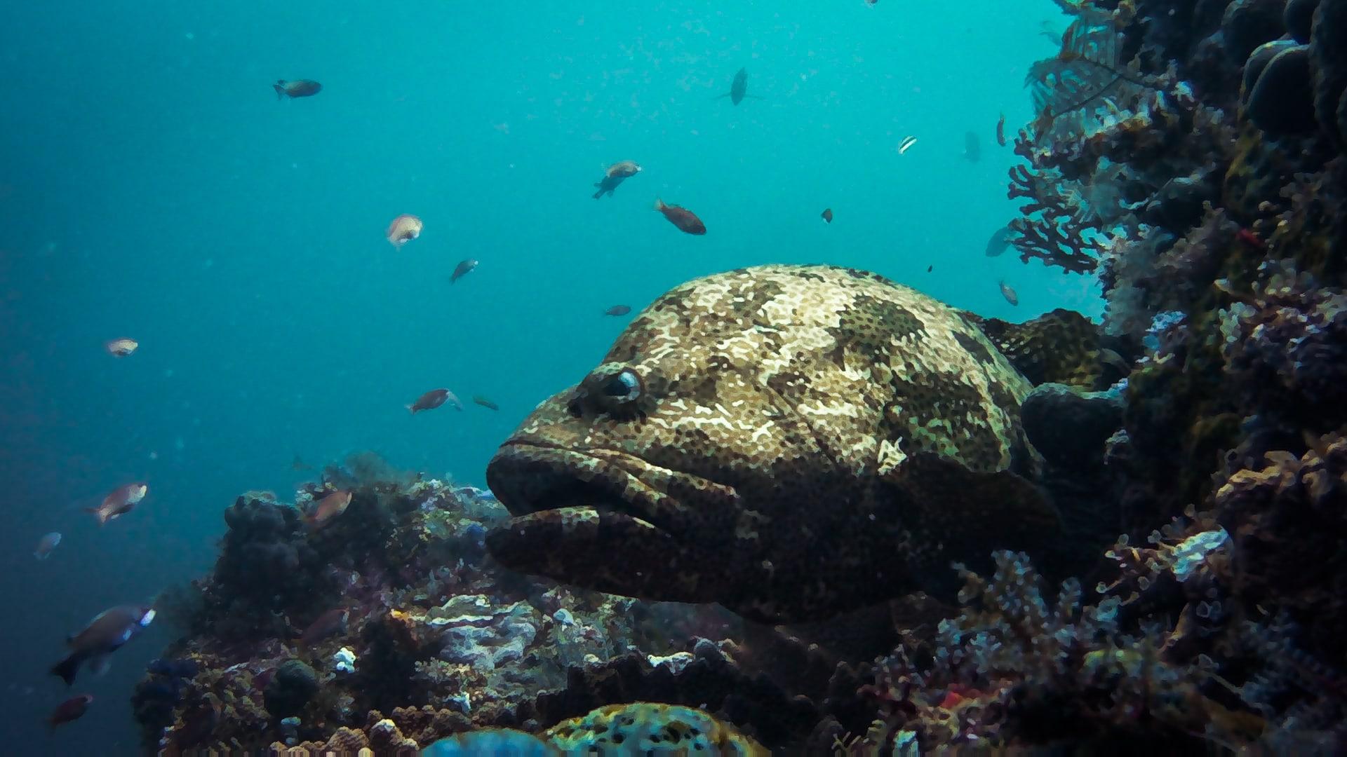 Komodo diving: big merou in batu bolong