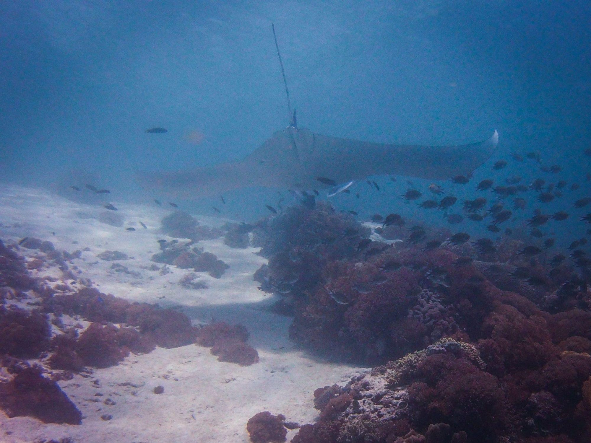 Komodo diving: manta Ray