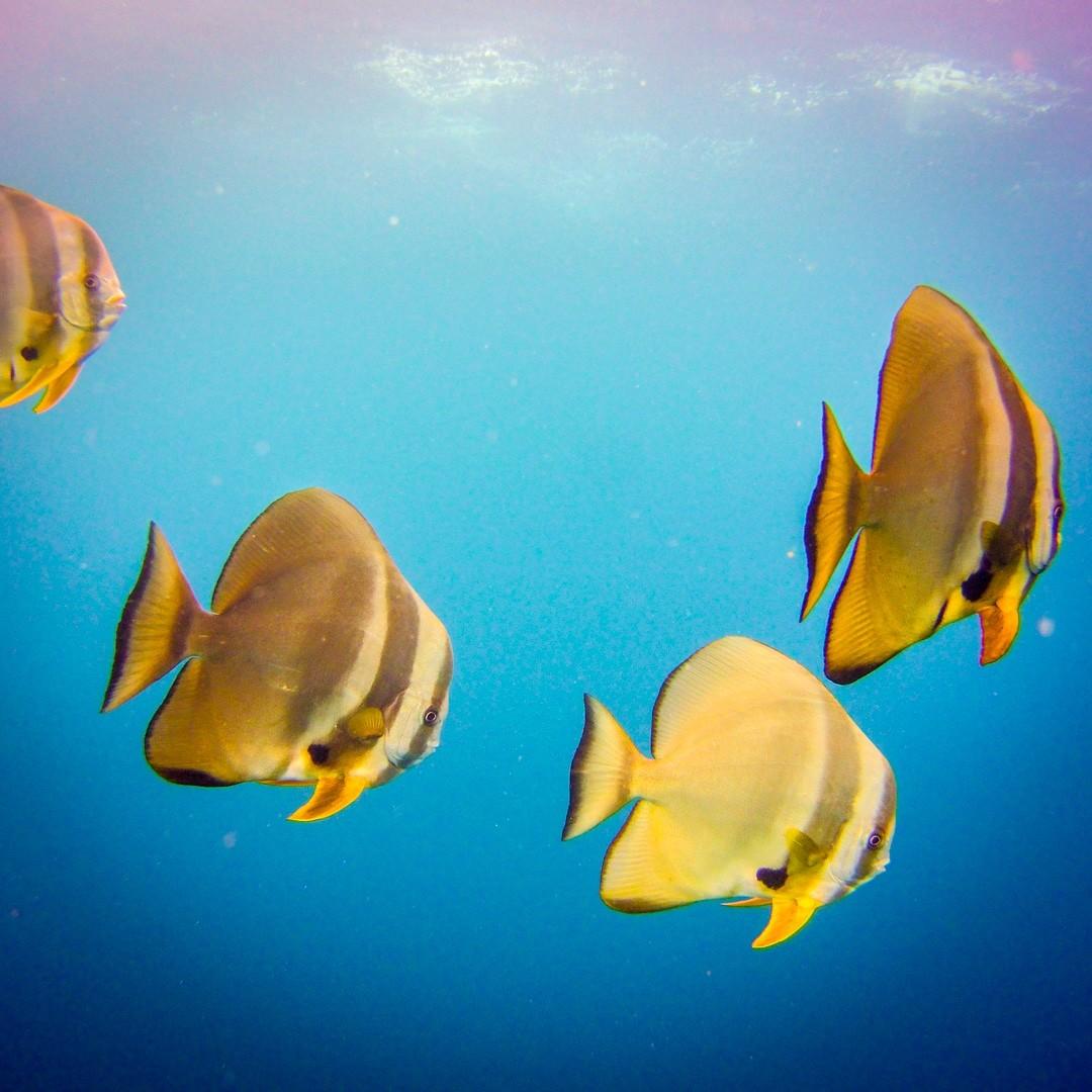 Liveaboard Raja Ampat - batfishes