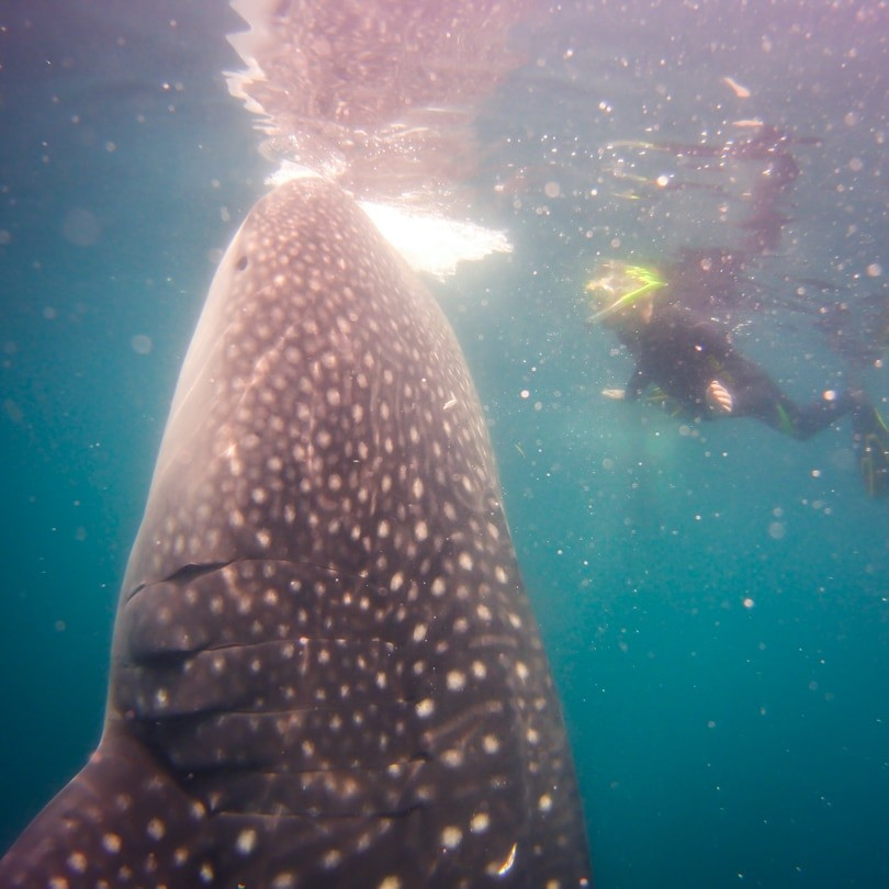 Ilike liveaboard to Kaimana - Whale Shark