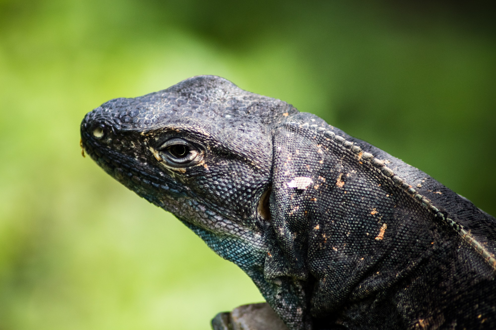 Four Seasons Costa Rica Lizards