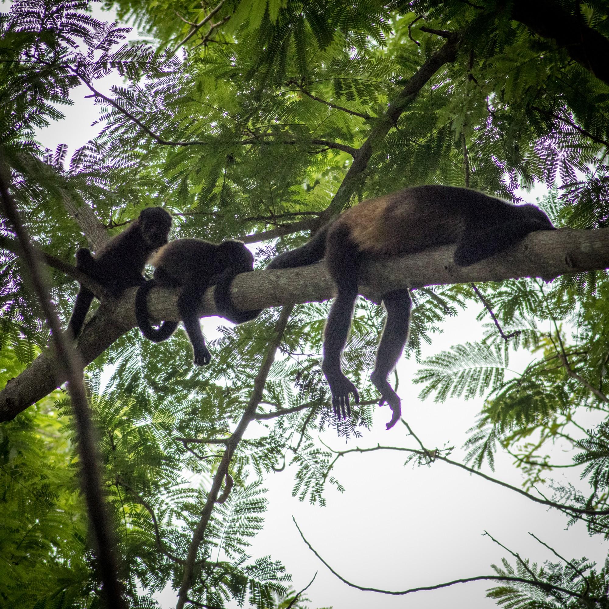 Four Seasons Costa Rica monkeys