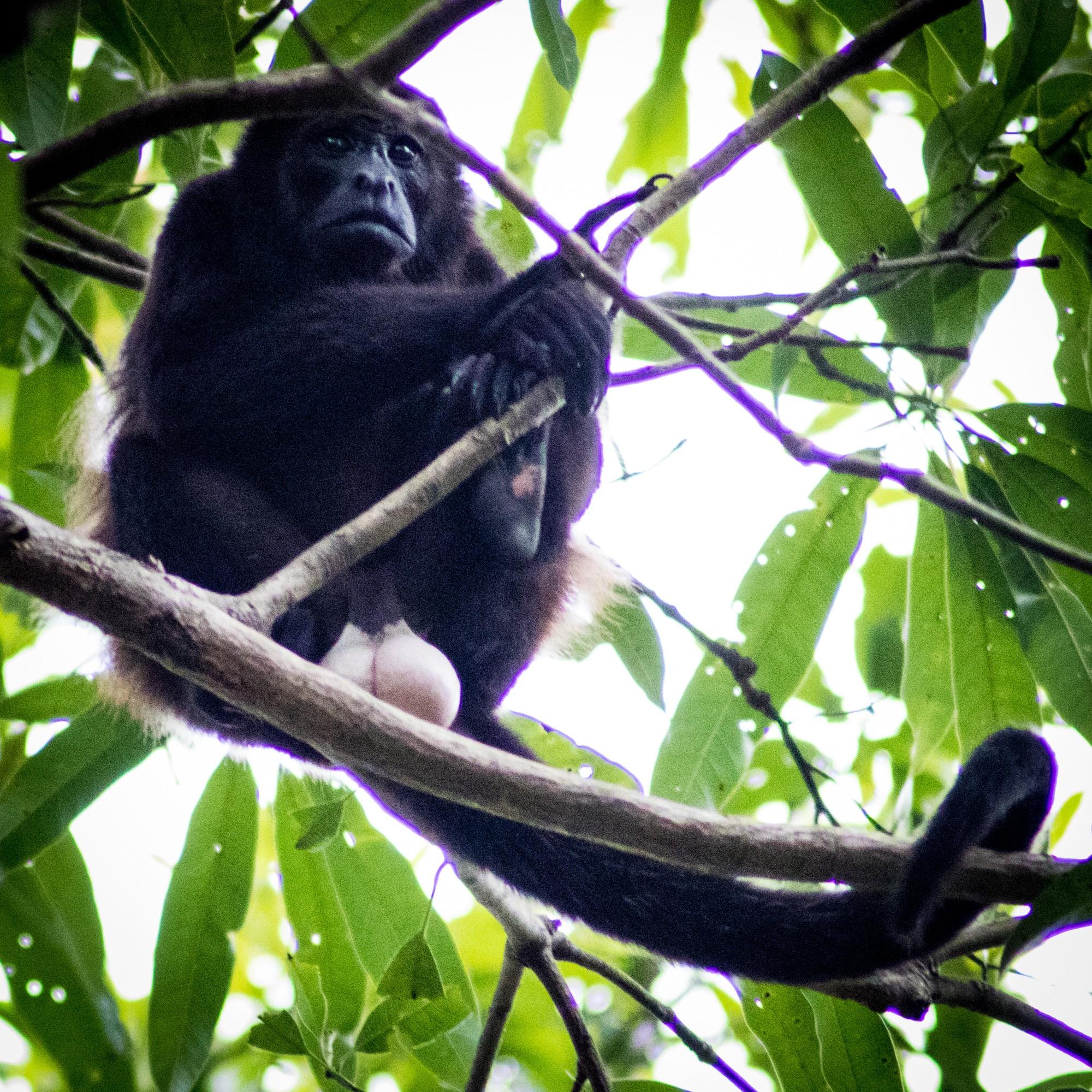 Four Seasons Costa Rica Monkey