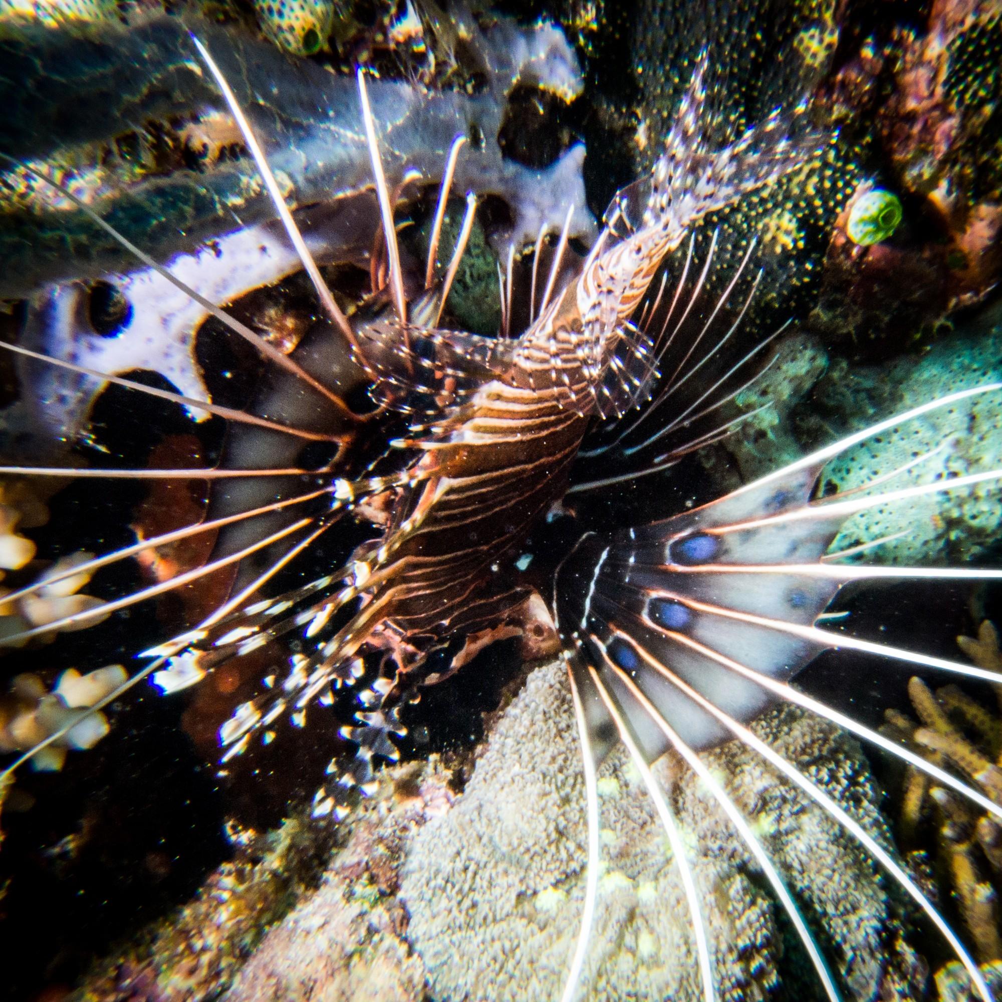Waiterang wreck dive site Maumere scorpion fish
