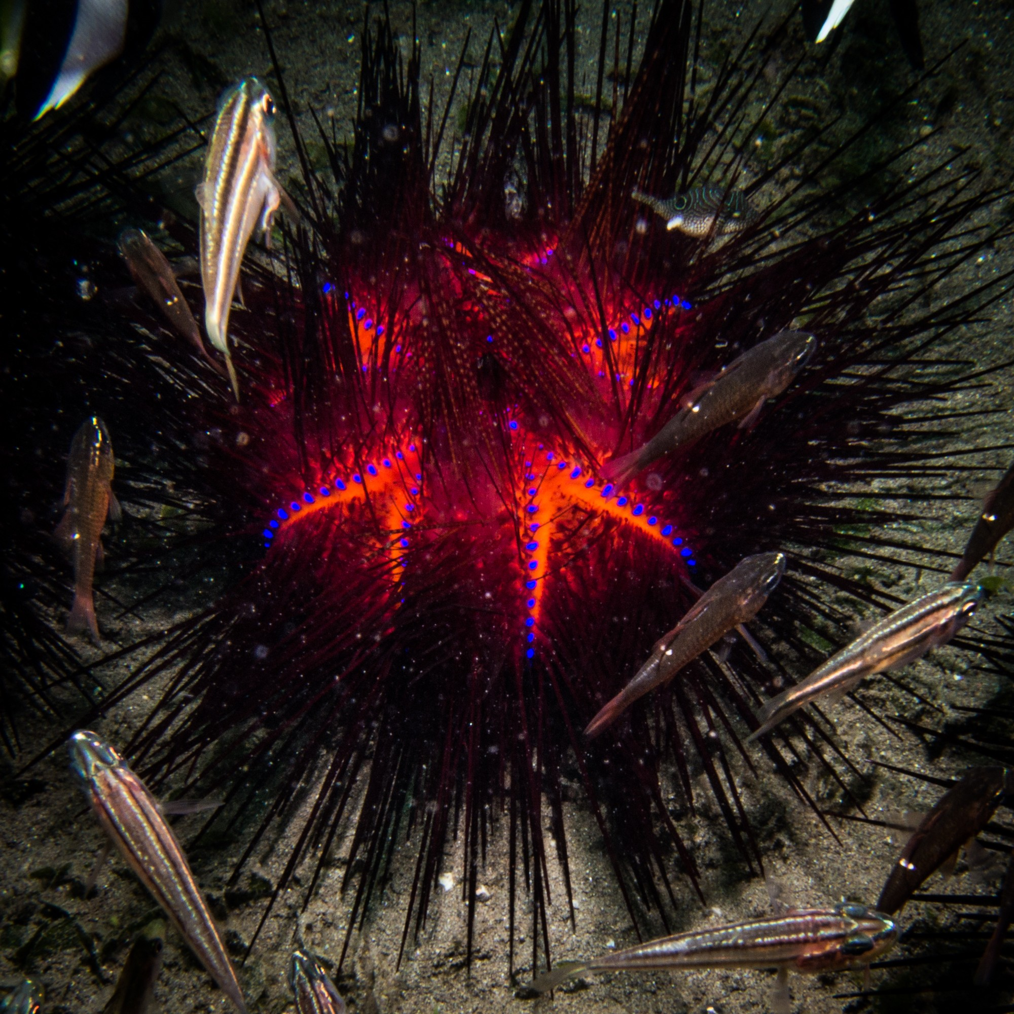 Waiterang wreck dive site Maumere fire sea urchin