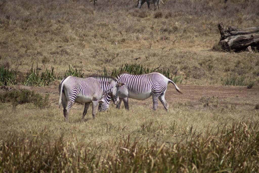 Lewa house grevy zebra