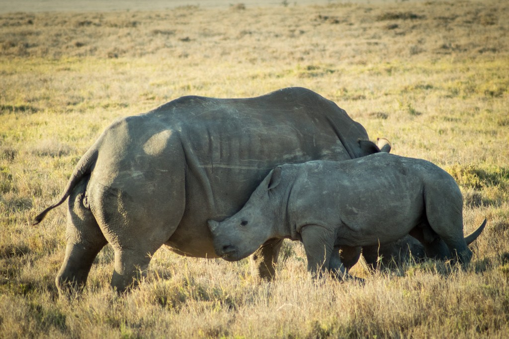 Lewa house review rhino and baby