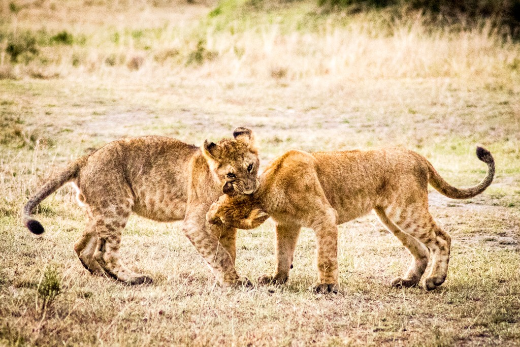 Tangulia Masai Mara baby lions fighting