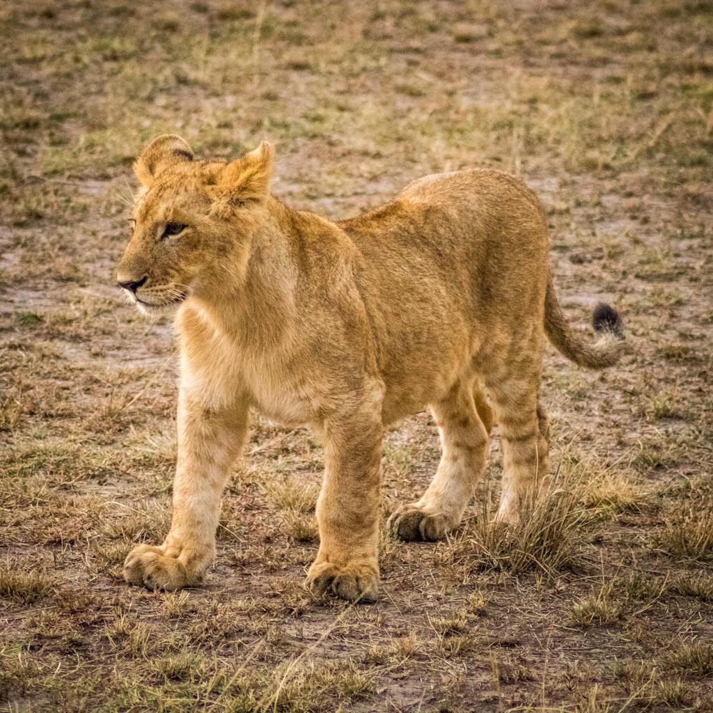 Tangulia Masai Mara lioness