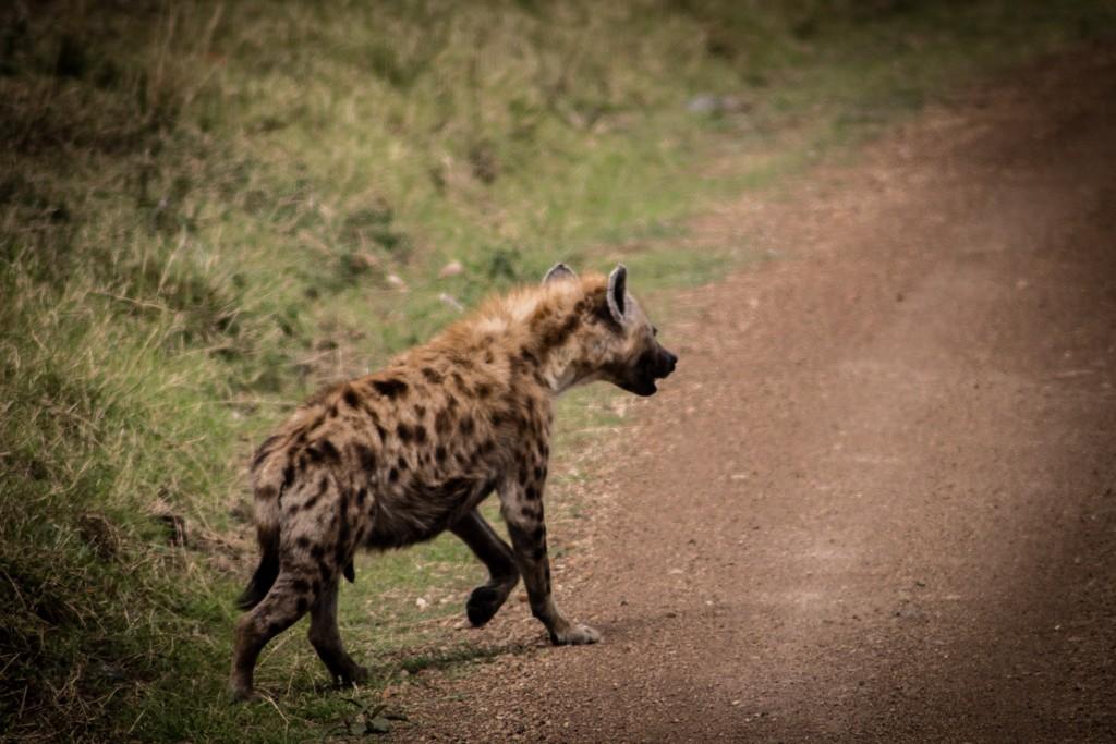 Tangulia Masai Mara Hyena running