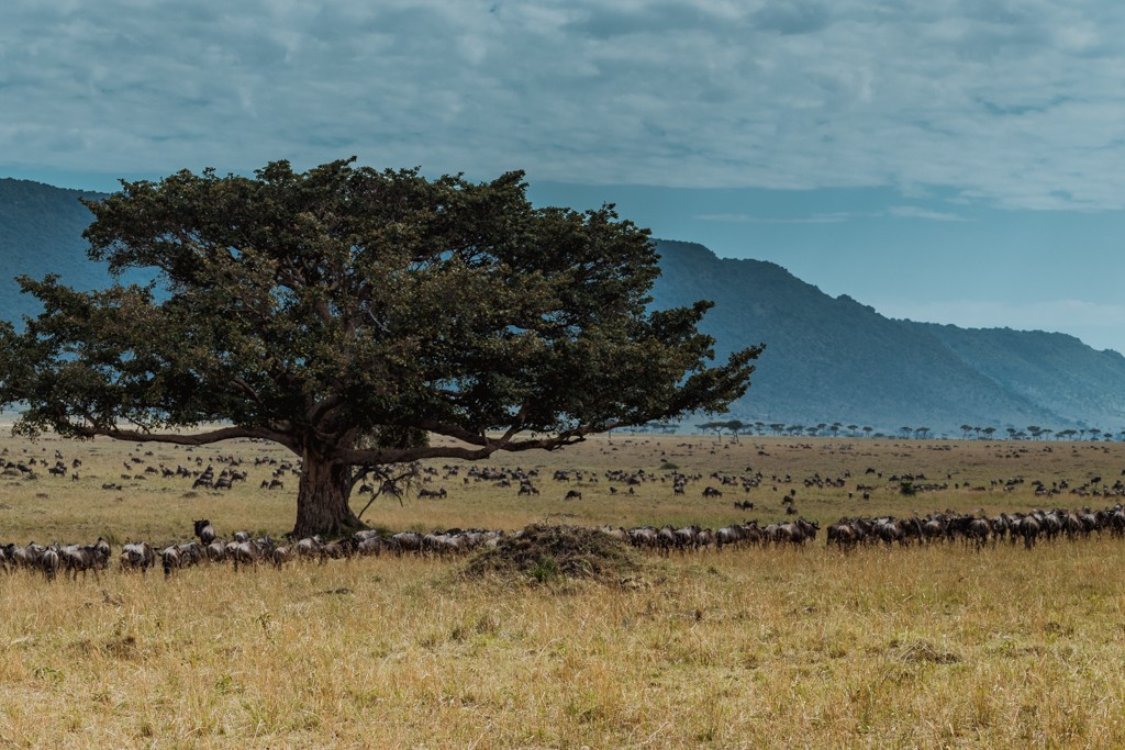 Tangulia Masai Mara migration herds