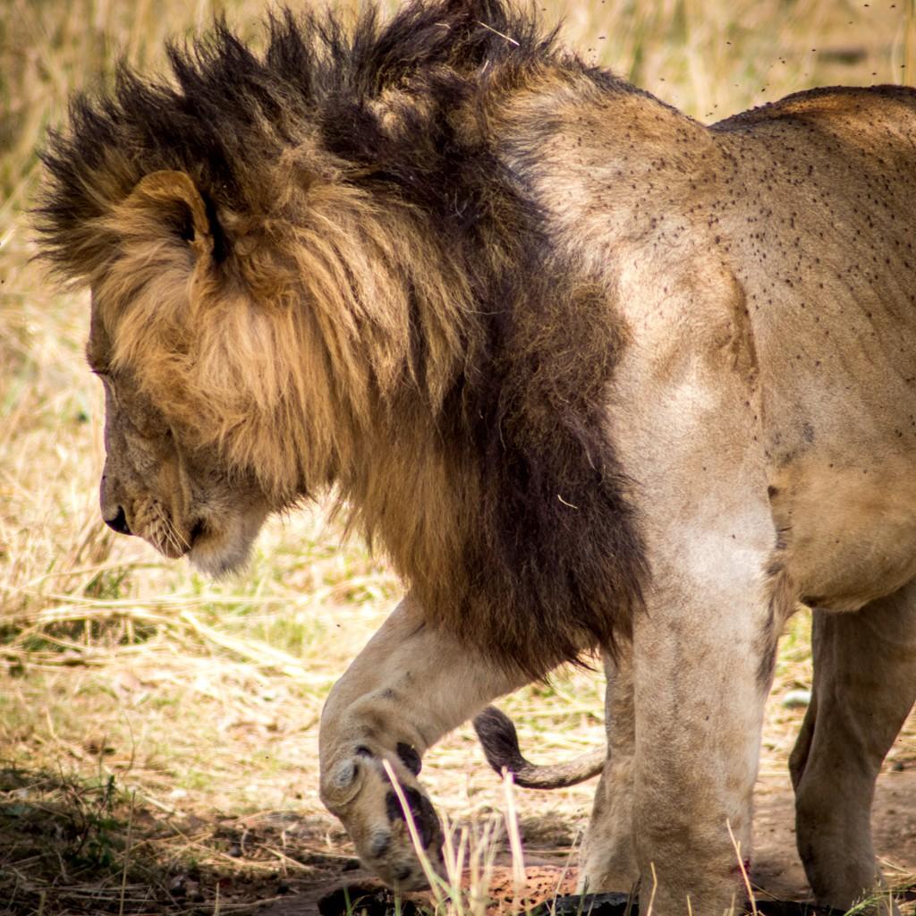 Tangulia Masai Mara Lion