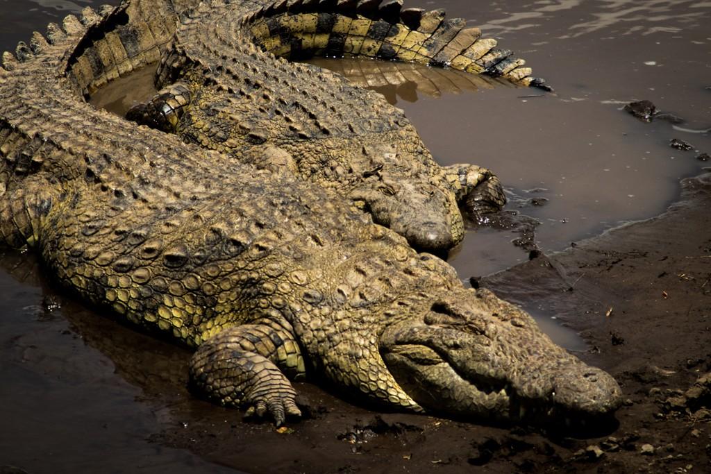 Tangulia Masai Mara crocodiles