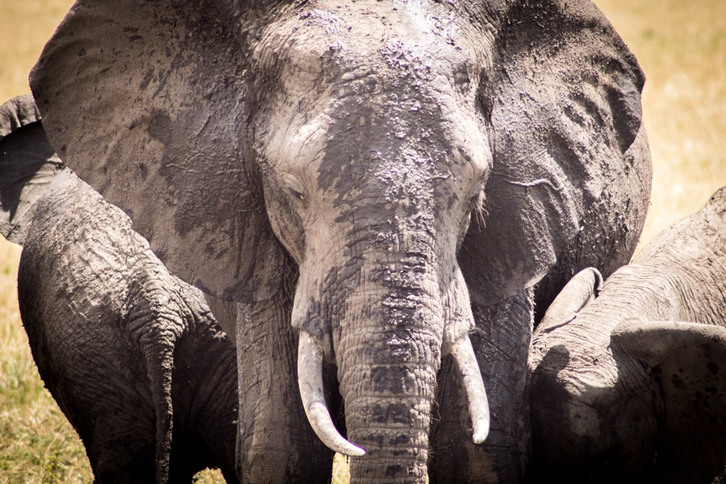 Tangulia Masai Mara Elephants
