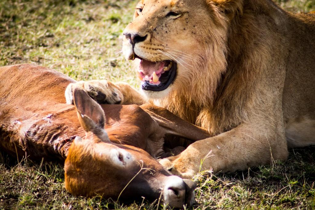 Tangulia Masai Mara Lioon feeding