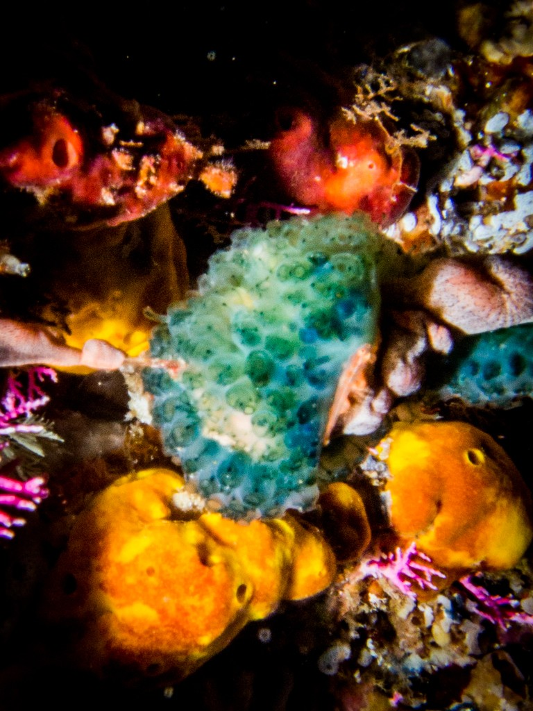 Diving Ambon Ulrika cave soft corals