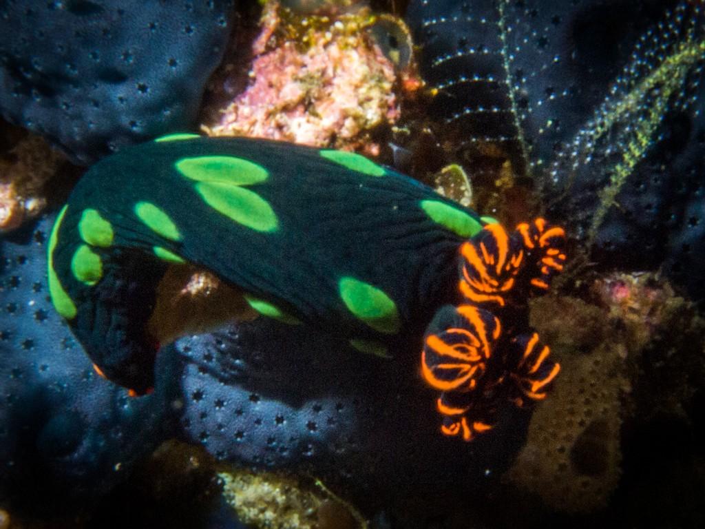 diving raja Ampat Penemu Nudibranch
