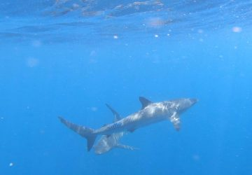 Silky shark in Cabo San Lucas