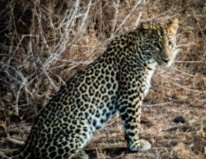 Lewa house review leopard