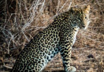 Lewa house review leopard