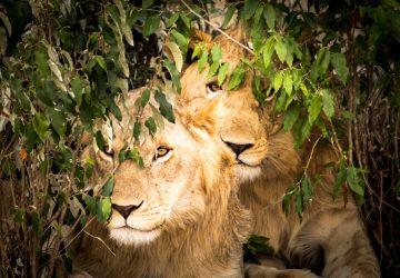 Tangulia Masai Mara Lions